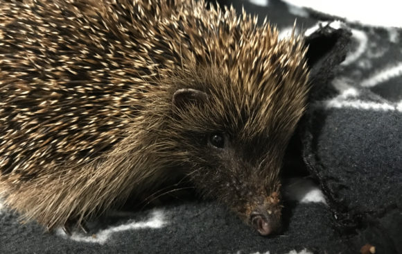 Help us Care for our Hedgehogs!