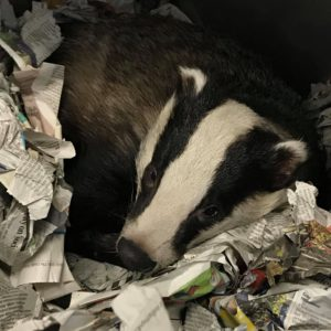 Road Traffic Accident: Badger